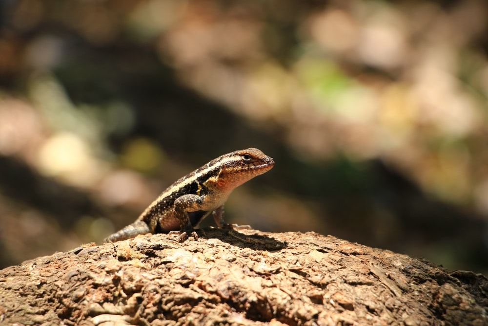 brown and black lizard on brown rock during daytime