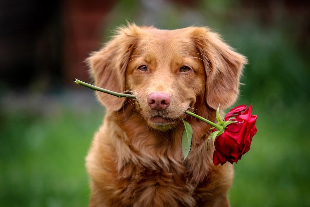 golden retriever puppy biting red rose
