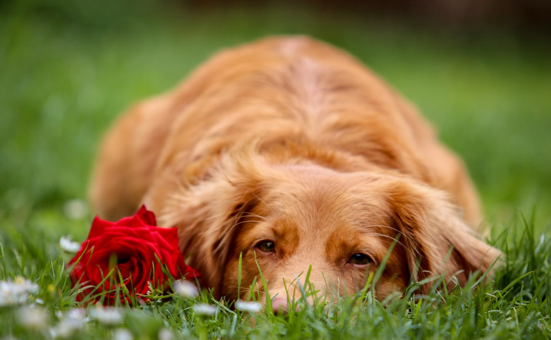 What Is The Best Family Dog – Golden Retrievers?