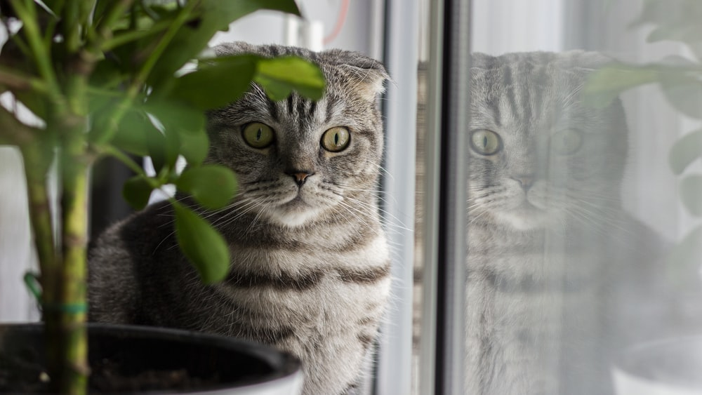 silver tabby cat looking out the window