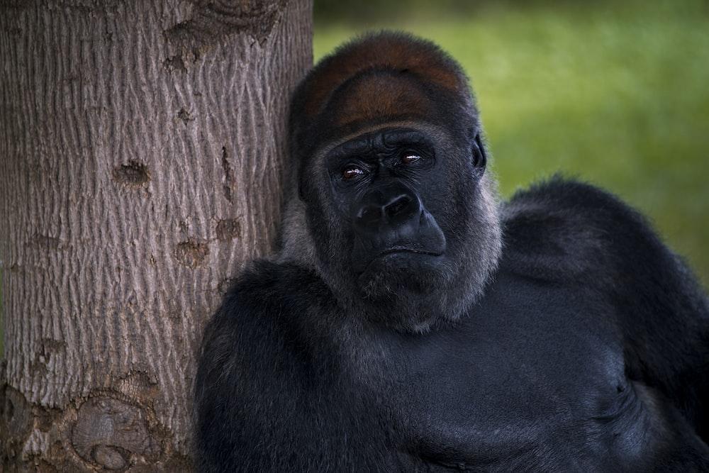 black gorilla leaning on brown tree trunk during daytime
