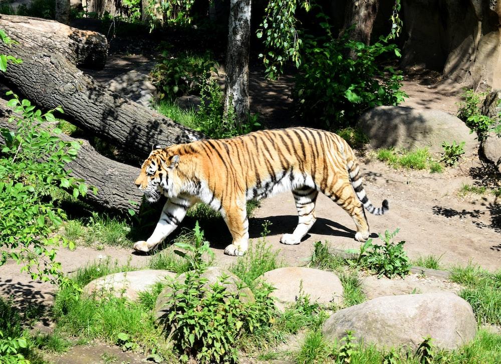 tiger lying on gray rock