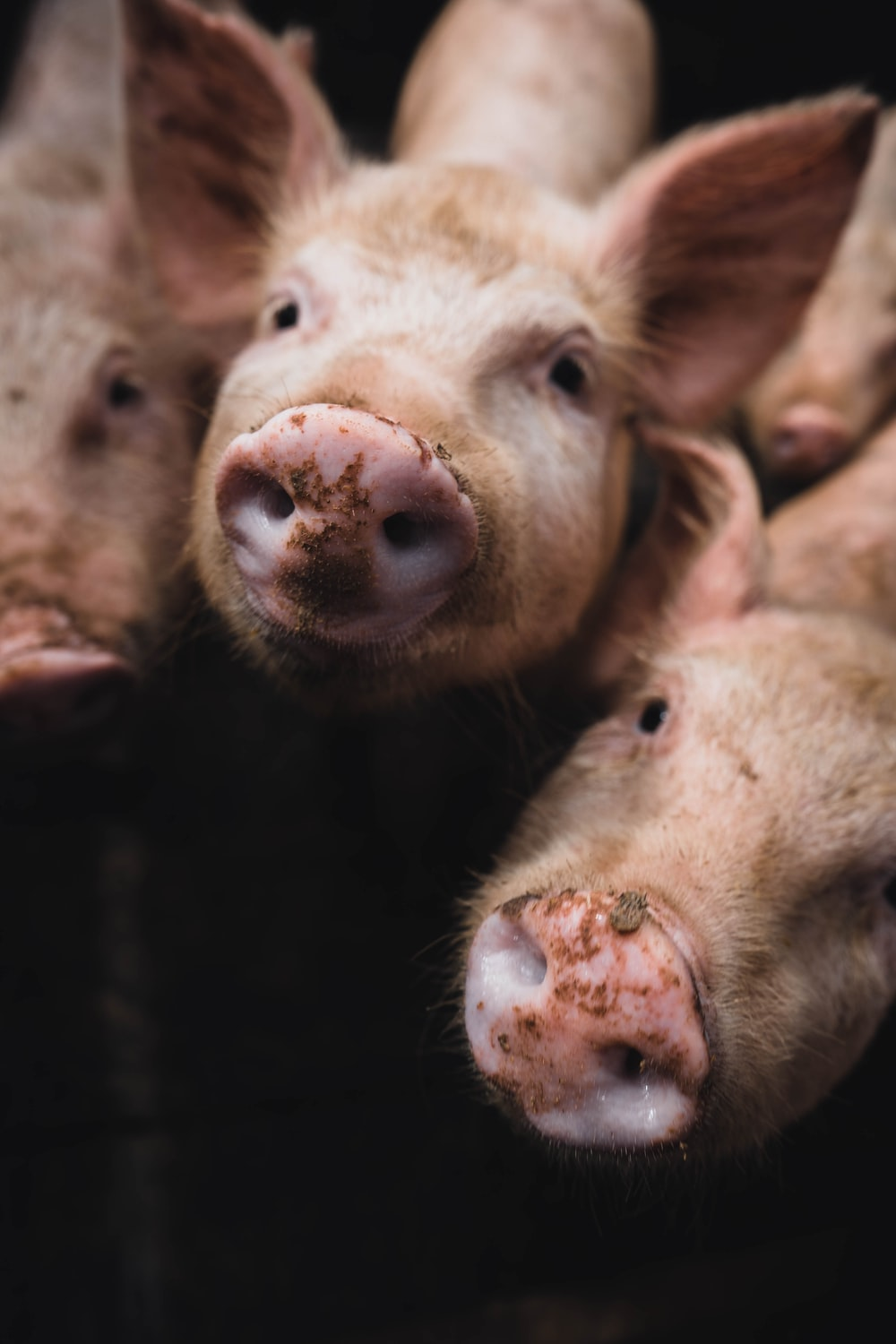 pink pigs in close up photography