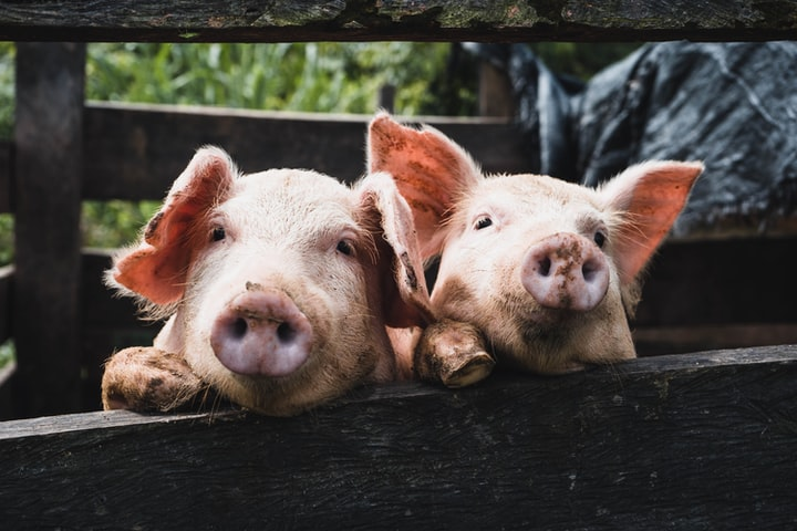 Pigs Aren't As Dumb As You Think! We Have Been Underestimating Them.