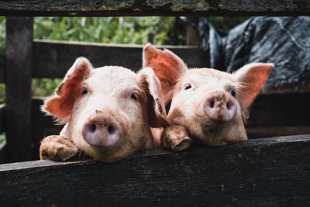 Pot Pig