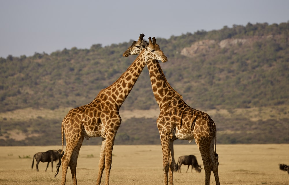 brown and black giraffe standing on brown sand during daytime