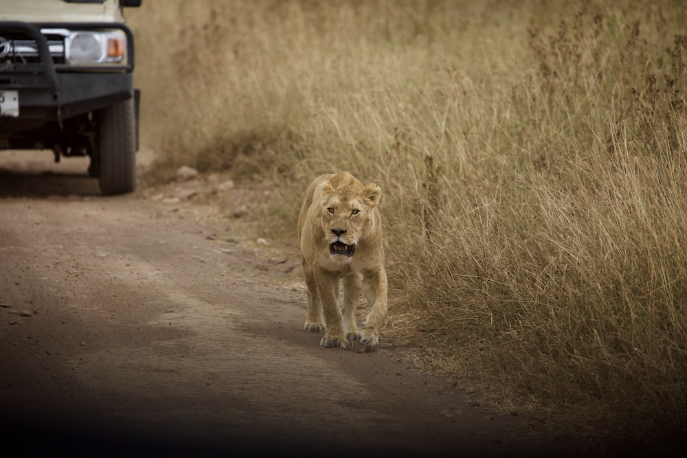 brown lioness walking on brown field during daytime