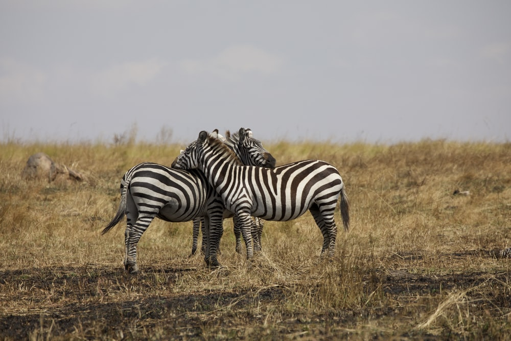 2 zebra on brown grass field during daytime