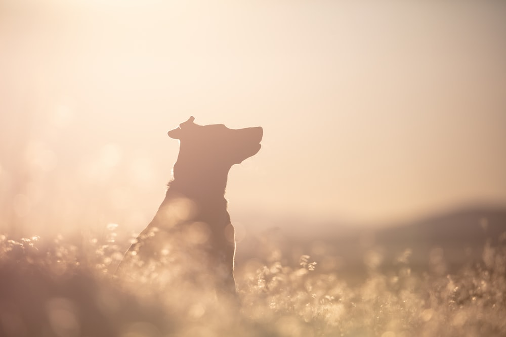 brown short coat dog on yellow grass field during sunset