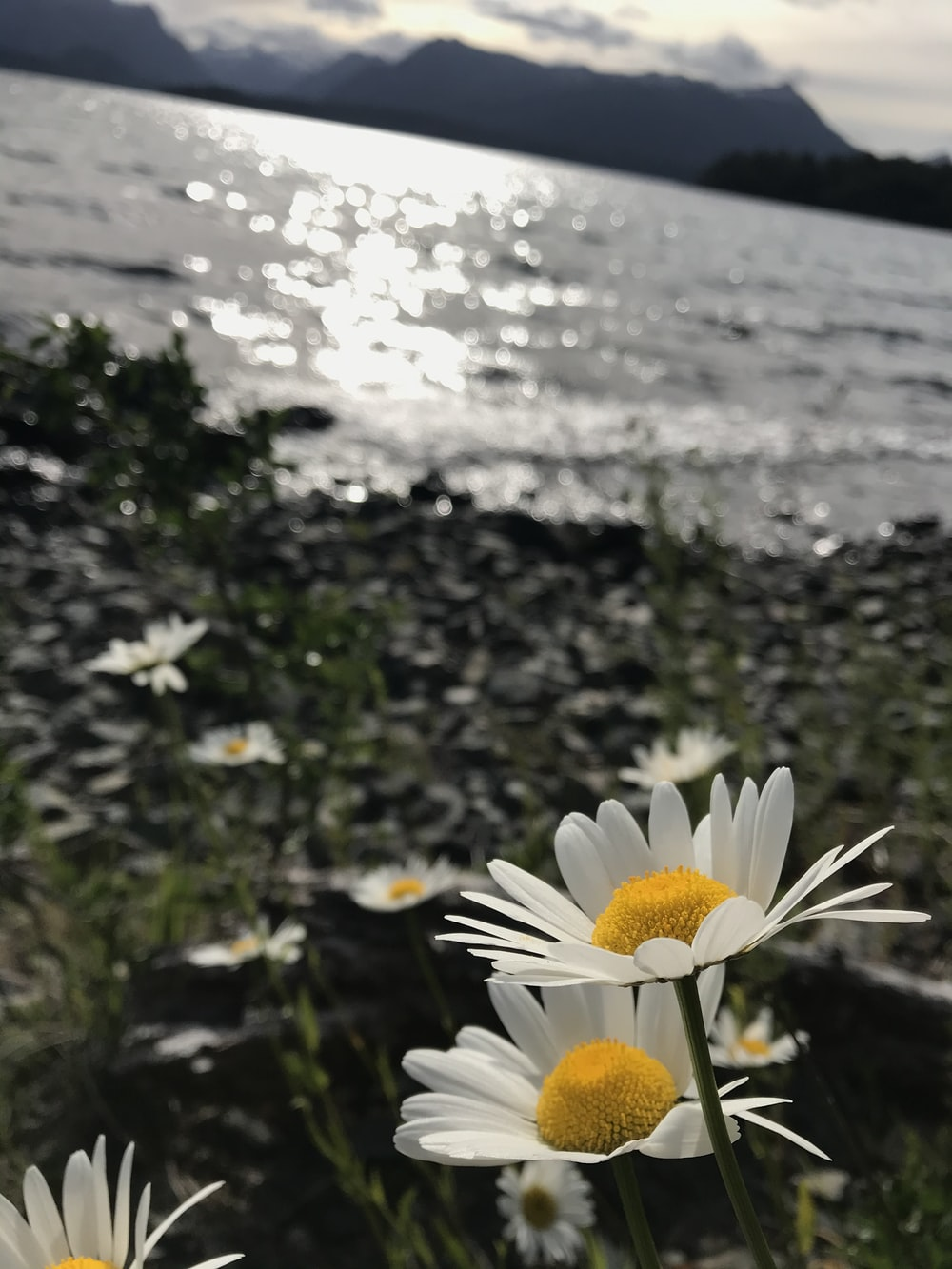 white daisy flower near body of water during daytime