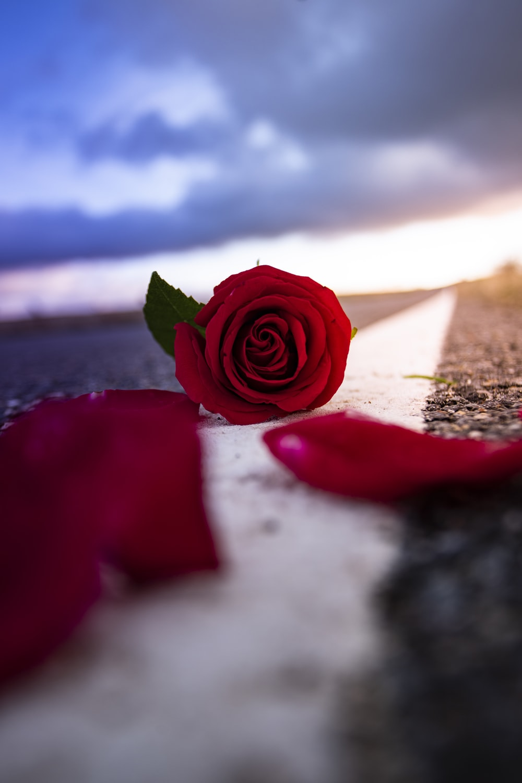 red rose on brown sand under blue sky during daytime