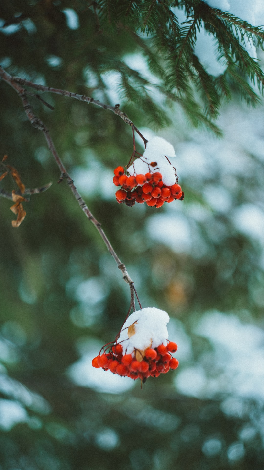 Winter rowan berry under snow