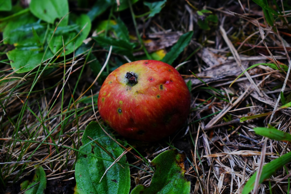 red apple fruit on brown dried leaves