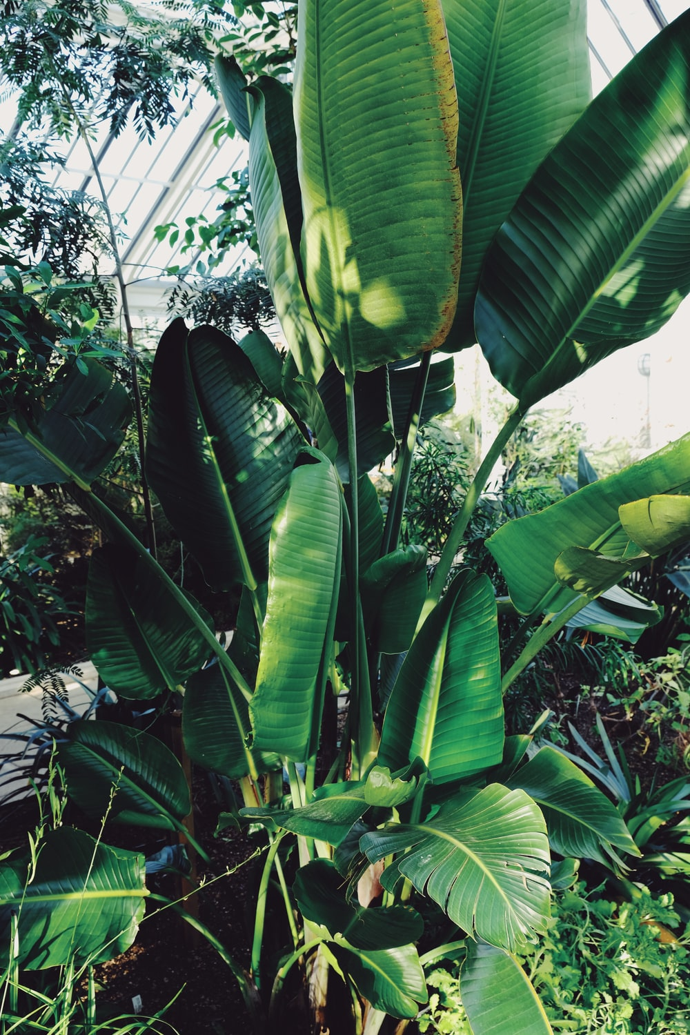 banana tree during day time