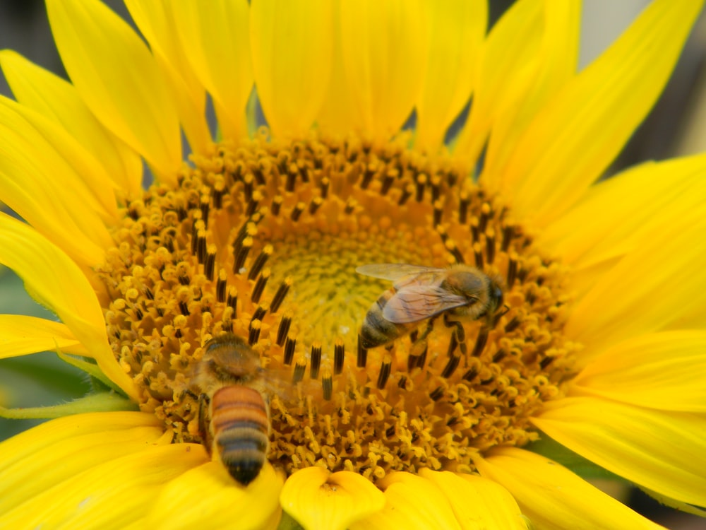honeybee perched on yellow sunflower in close up photography during daytime