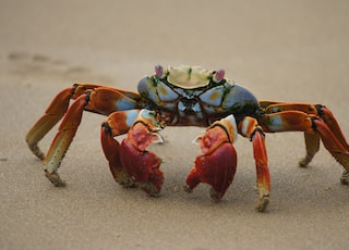 red and black crab on sand