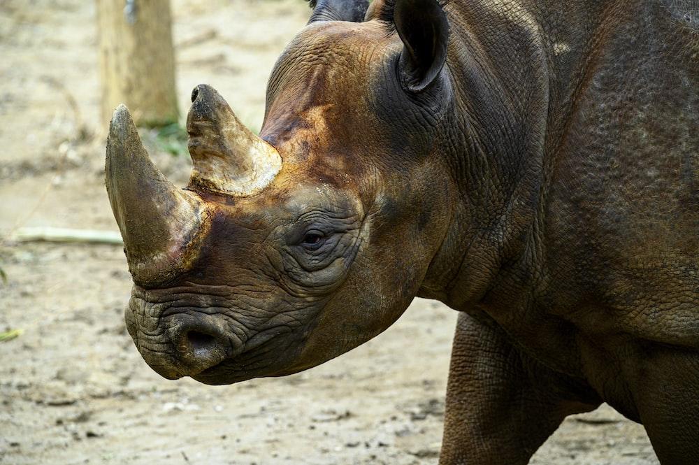 brown rhinoceros on brown sand during daytime