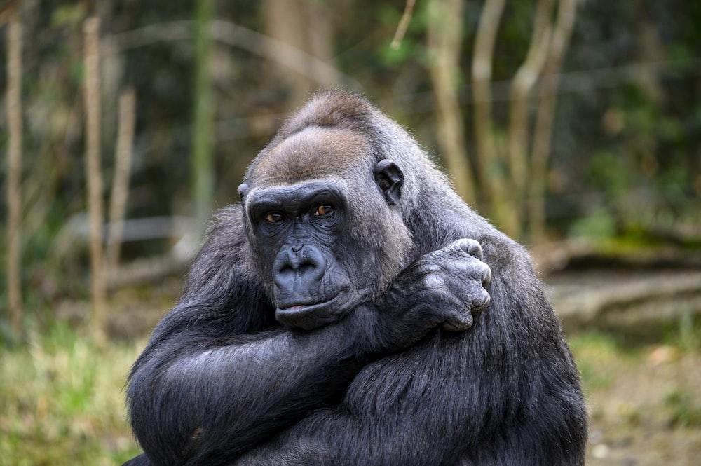 black gorilla in forest during daytime
