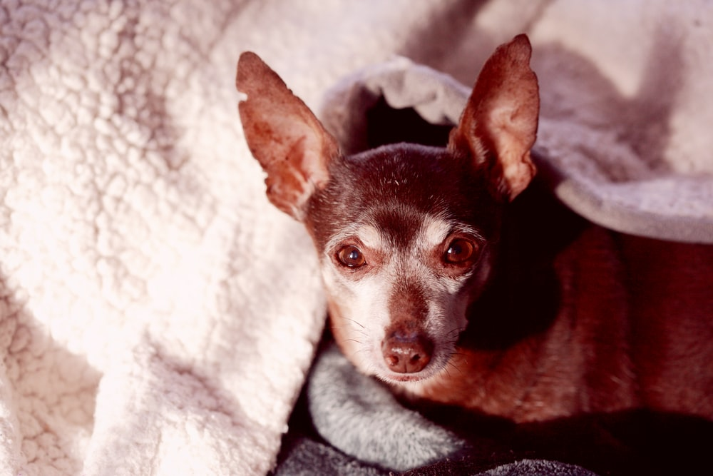 black and brown chihuahua on white textile