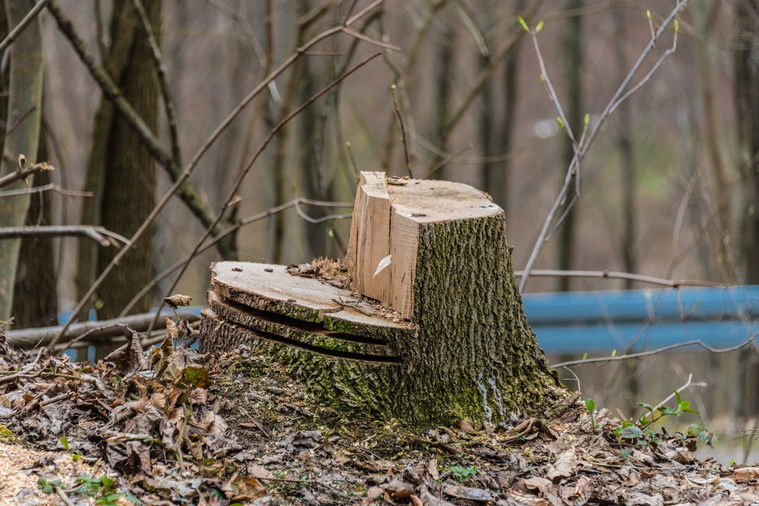 A tree stump worked with a chainsaw.