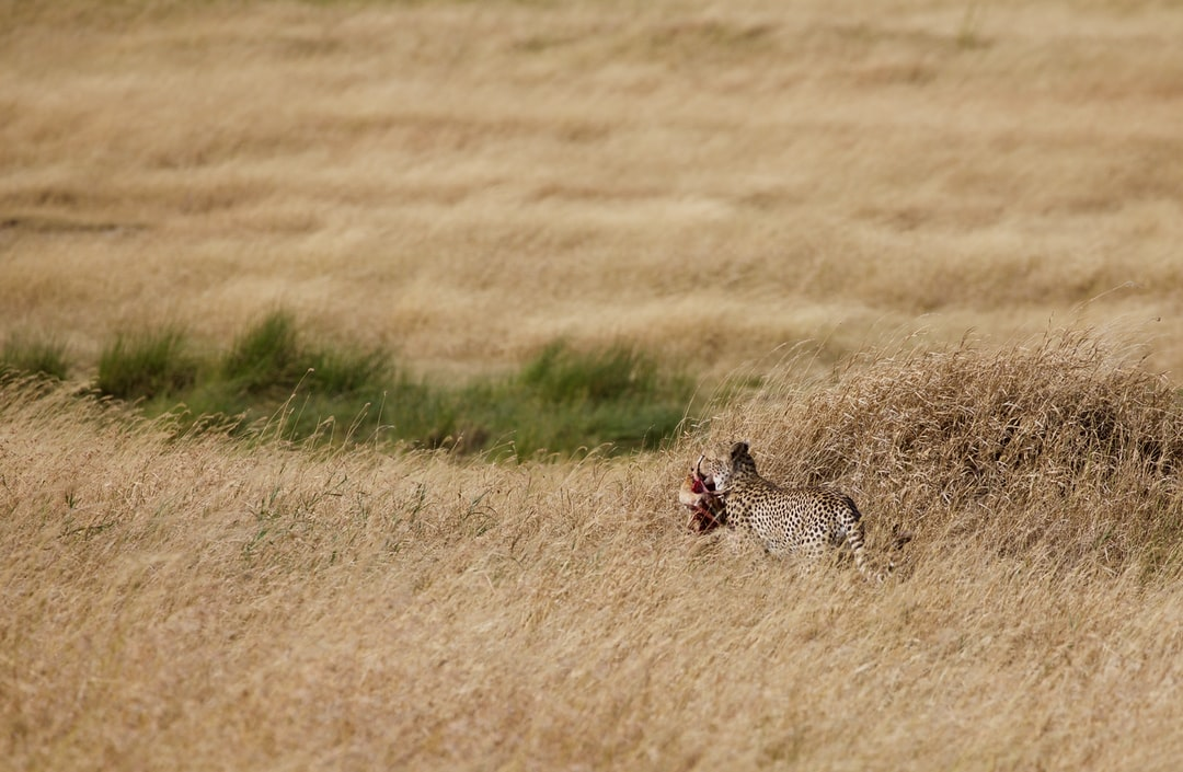 Cheetah with a gazelle in its mouth on the serengeti in Tanzania
