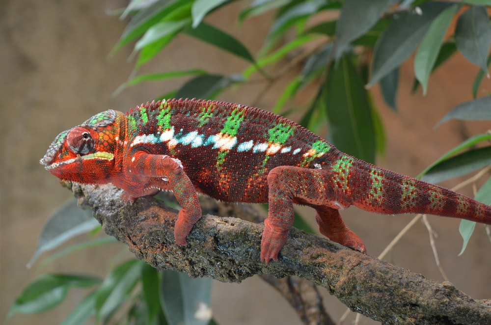 green and brown chameleon on brown tree branch during daytime