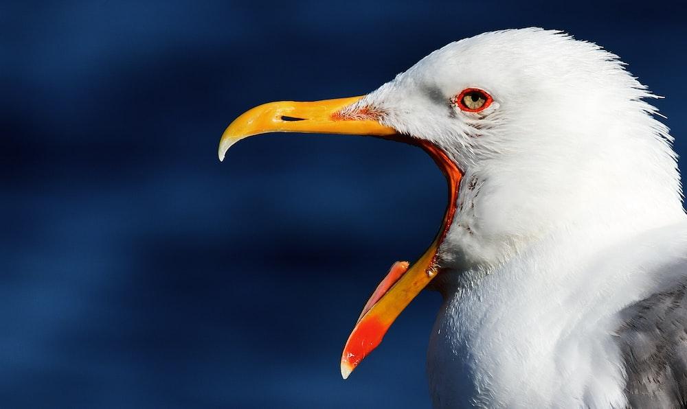 white bird with orange beak
