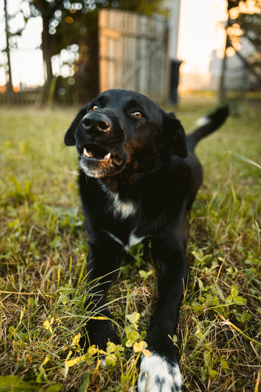 black and white short coat medium dog sitting on grass field during daytime