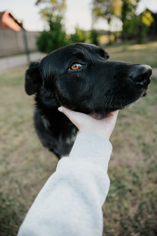 black labrador retriever puppy on persons hand