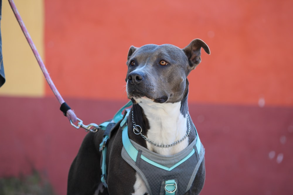 black and white american pitbull terrier with blue and red leash