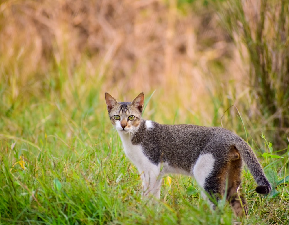 white and brown cat on green grass during daytime