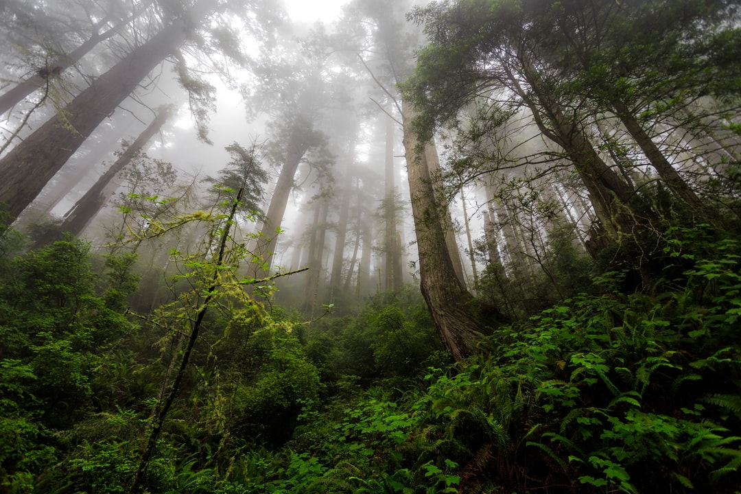 """the Mist""  del Norte Redwoods In California - unsplash"