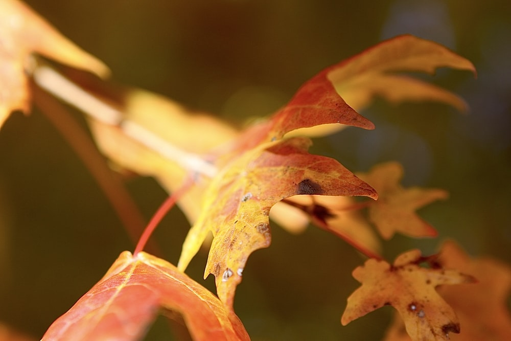 red leaf in macro photography