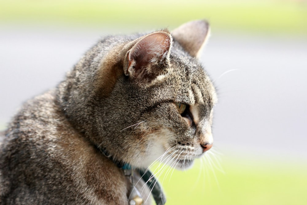 brown tabby cat with blue collar
