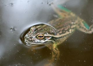 green and brown frog on water