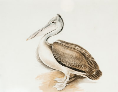 brown pelican on white background watercolour teams background