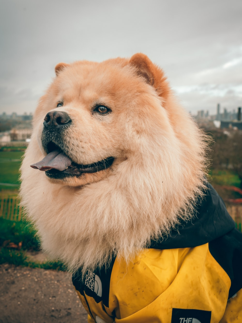 brown long coated dog wearing black and yellow jacket