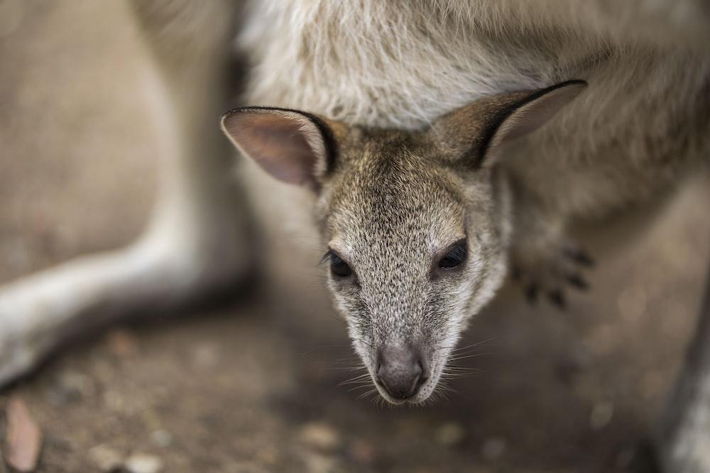 brown and white kangaroo lying on ground during daytime
