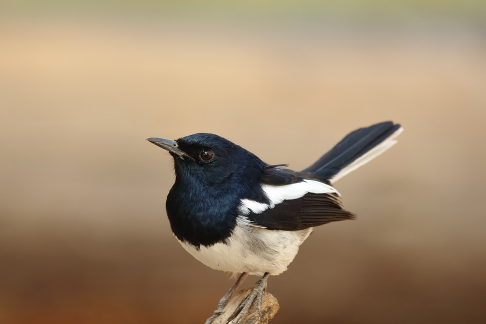 black and white bird on brown tree branch