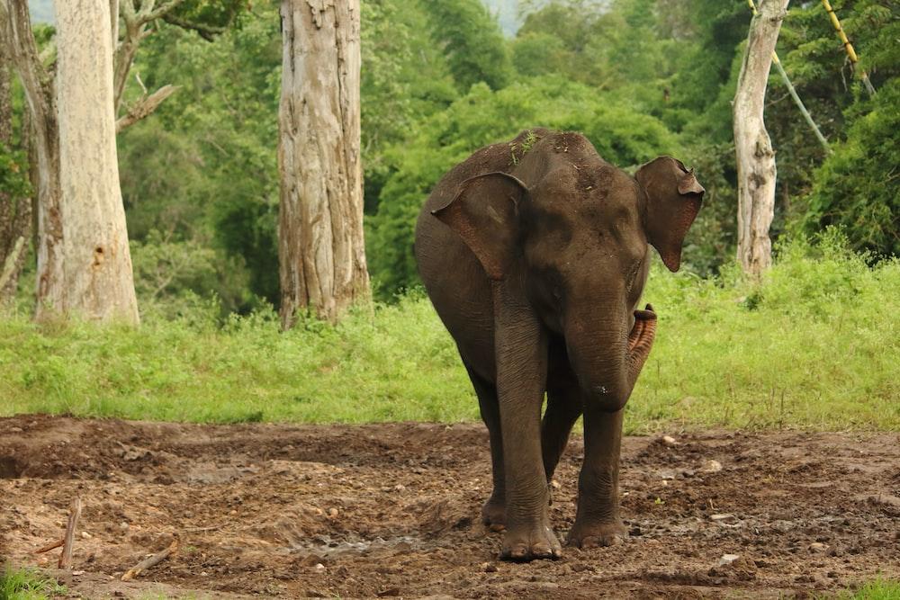 brown elephant walking on dirt road during daytime