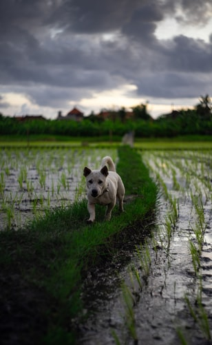 dog on the rice field