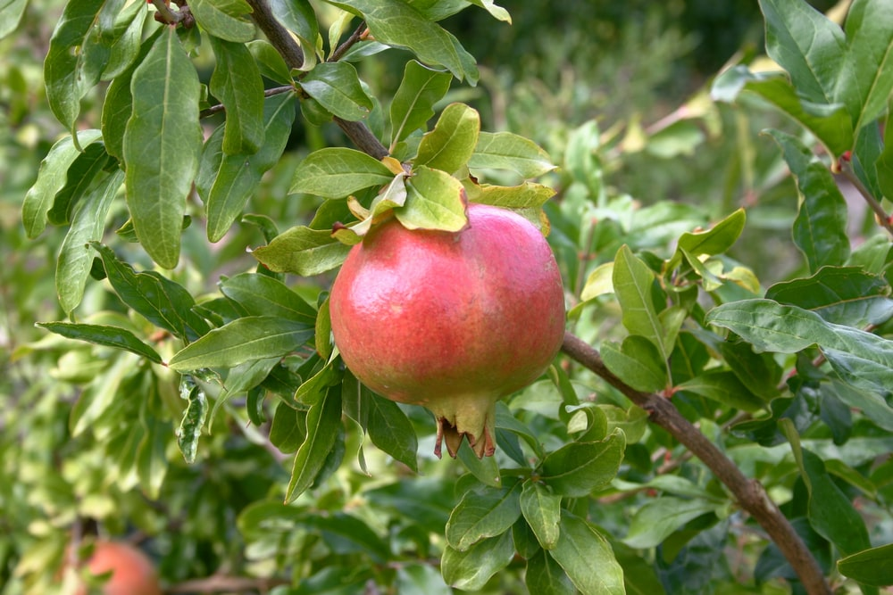 red apple fruit on green leaves during daytime,अनार की खेती