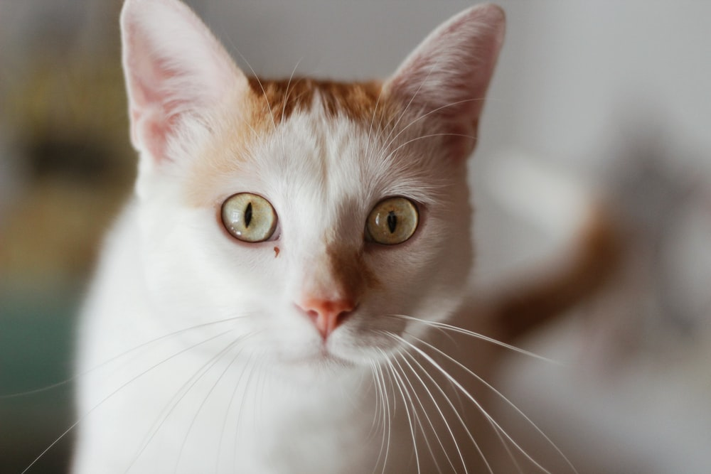 white and brown cat in close up photography