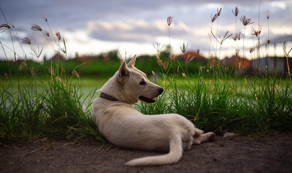 white short coated dog lying on ground during daytime