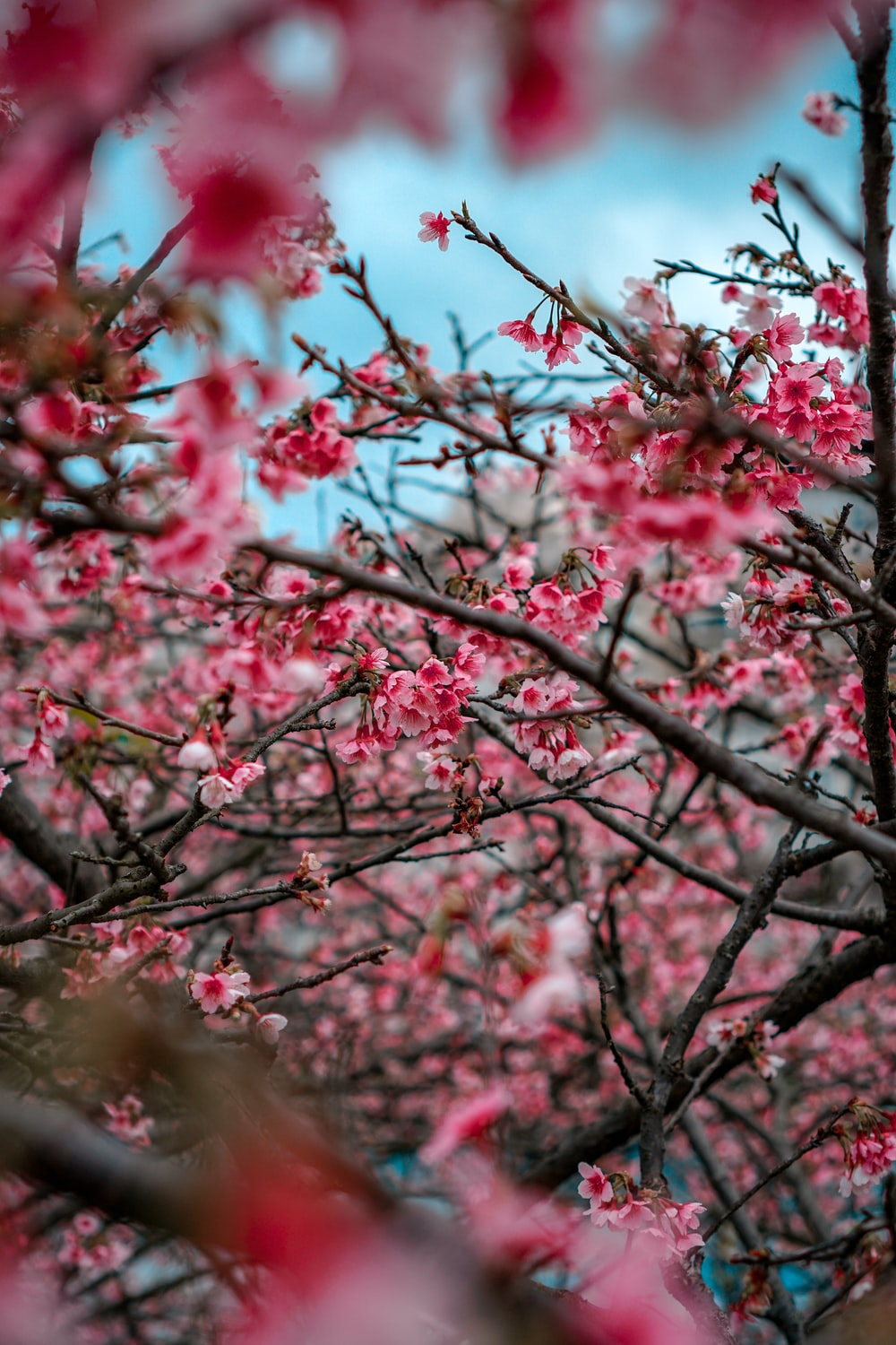 pink cherry blossom tree in close up photography