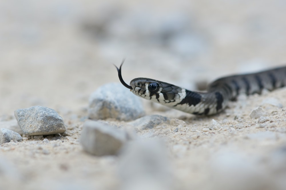 black and white snake on brown rock