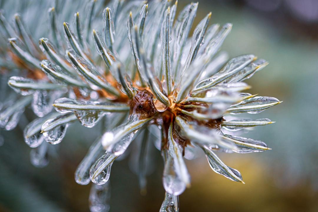 ice on a pine tree