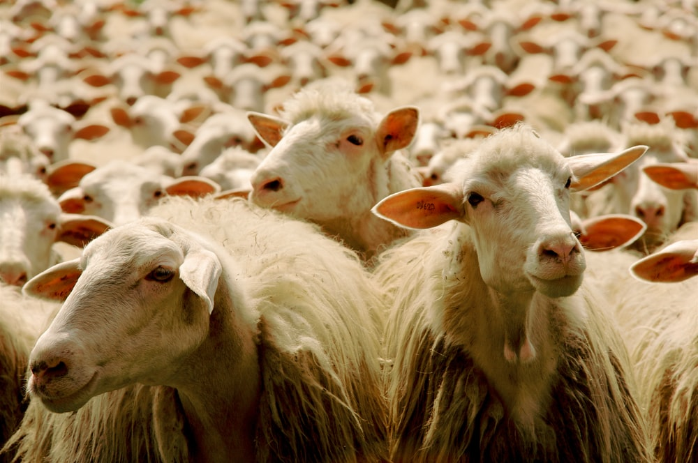 white sheep on brown grass field during daytime