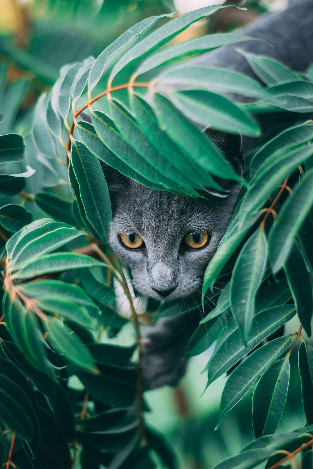 russian blue cat on green leaves