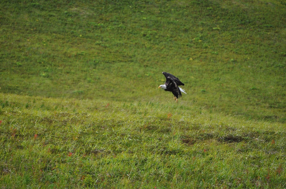black eagle flying over green grass field during daytime